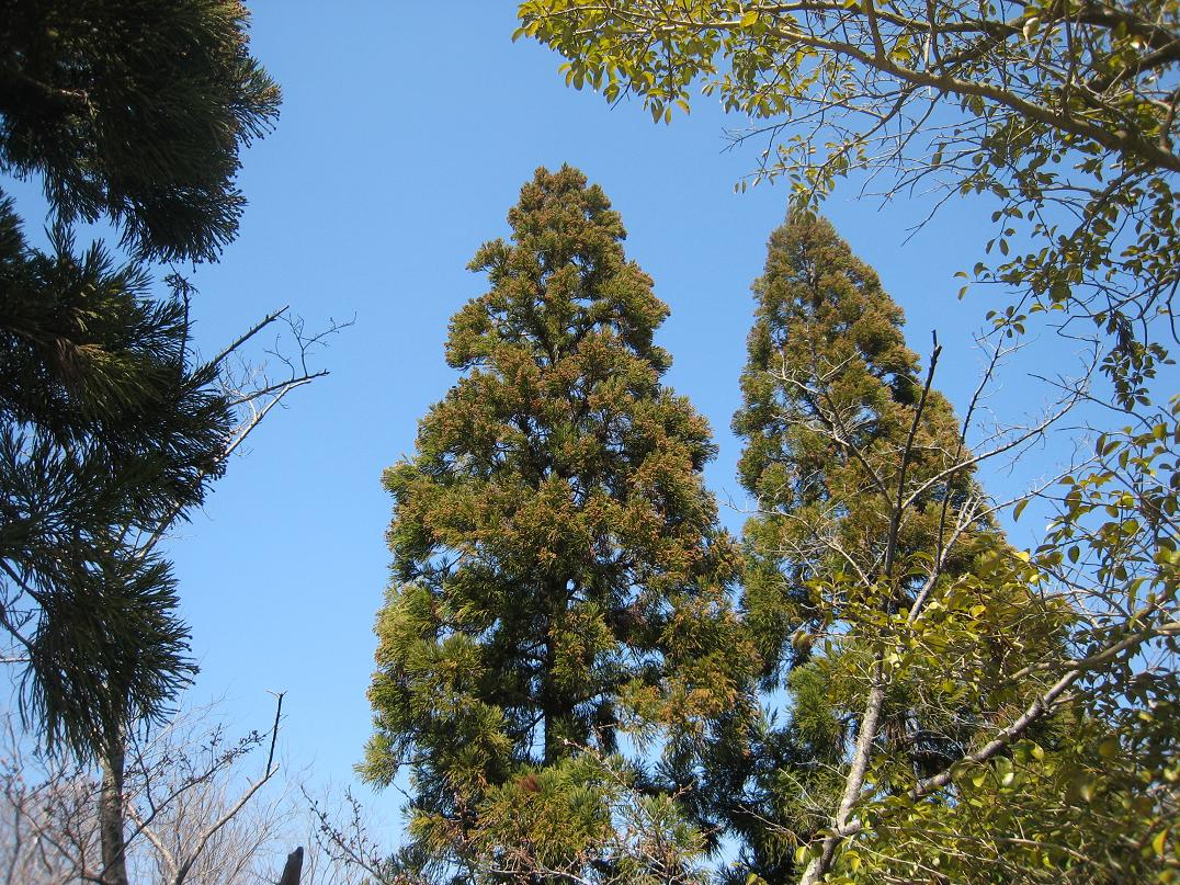 杉花粉_f0205367_12434492.jpg