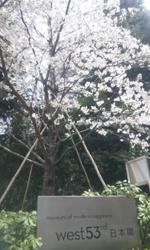 west53rd桜の開花情報_d0079577_12584129.jpg
