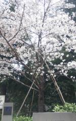 west53rd桜の開花情報_d0079577_1314792.jpg