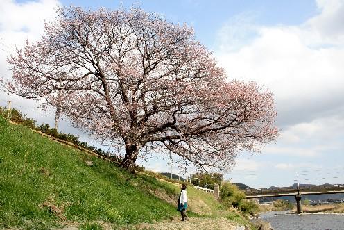 西脇市 「郷瀬の一本桜」は、今が満開♪ (兵庫)_b0067283_18145662.jpg