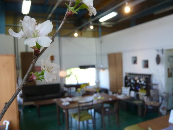 お店も桜が咲いてます。_d0224984_225316100.jpg