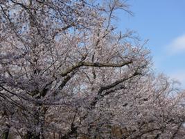 桜(水源公園)_b0142989_21392812.jpg