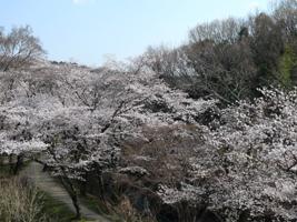 桜(水源公園)_b0142989_21393648.jpg