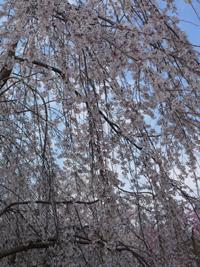桜(水源公園)_b0142989_21411312.jpg