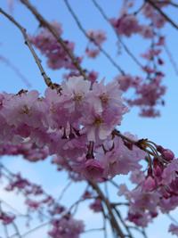桜(水源公園)_b0142989_21415314.jpg