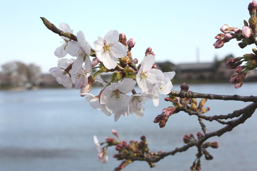 徳川家康も訪れた東金・八鶴湖 春らんまん_b0114798_21294520.jpg