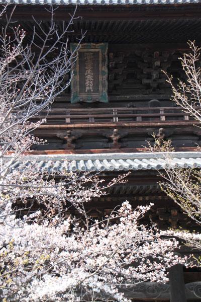 京の花だより 金戒光明寺_e0048413_2284356.jpg