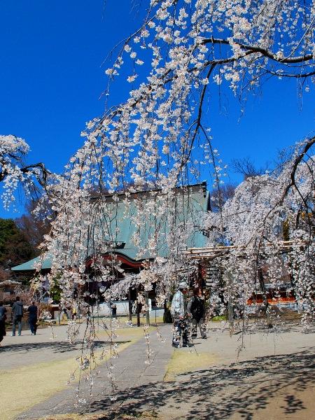 慈眼寺のしだれ桜_c0177814_19103941.jpg