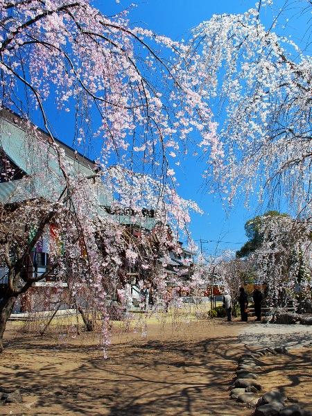 慈眼寺のしだれ桜_c0177814_191767.jpg