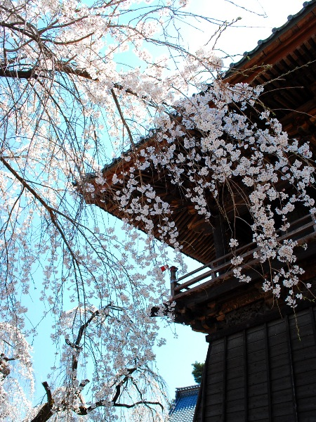 慈眼寺のしだれ桜_c0177814_19185863.jpg