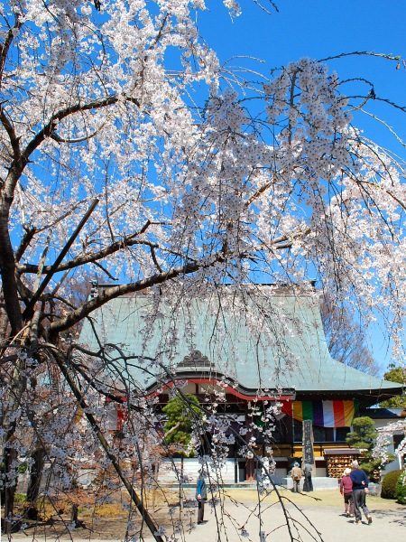 慈眼寺のしだれ桜_c0177814_1921765.jpg