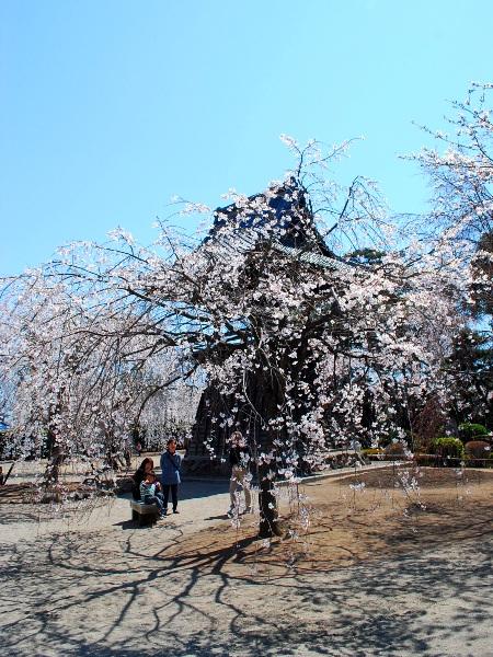 慈眼寺のしだれ桜_c0177814_19222234.jpg