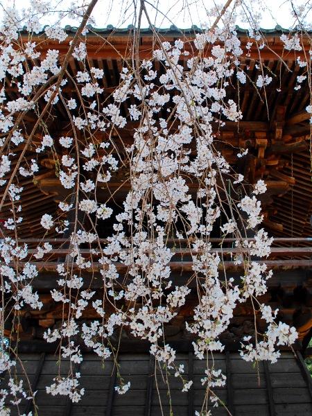 慈眼寺のしだれ桜_c0177814_19225358.jpg
