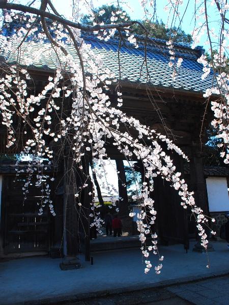 慈眼寺のしだれ桜_c0177814_19231436.jpg
