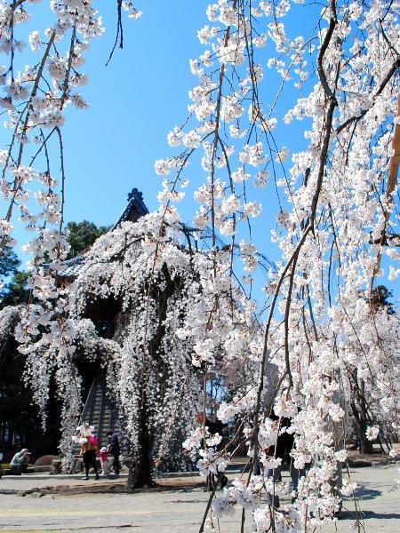 慈眼寺のしだれ桜_c0177814_19245788.jpg