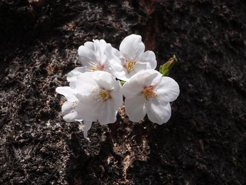 名所「目黒川の桜」。_e0053731_2012528.jpg