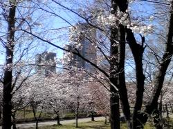 4/7 今年の桜_e0213444_9184486.jpg