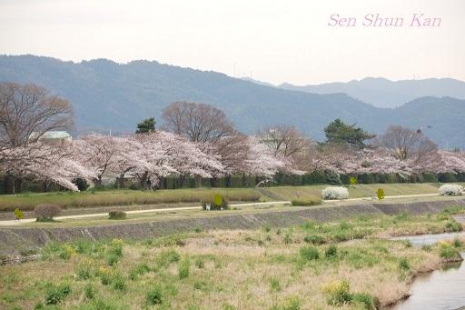 賀茂川の桜_a0164068_12171630.jpg