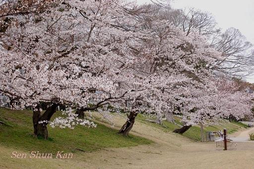 賀茂川の桜_a0164068_1217391.jpg