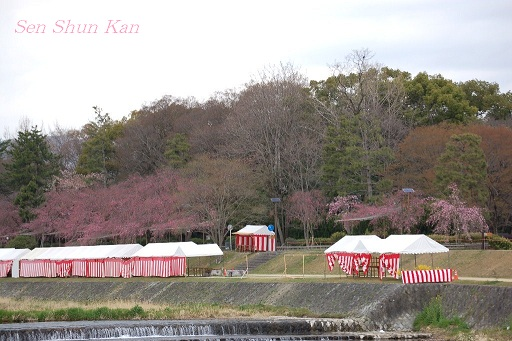 賀茂川の桜_a0164068_121806.jpg