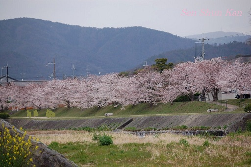 賀茂川の桜_a0164068_12182417.jpg