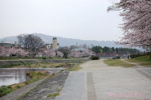 賀茂川の桜_a0164068_1219146.jpg