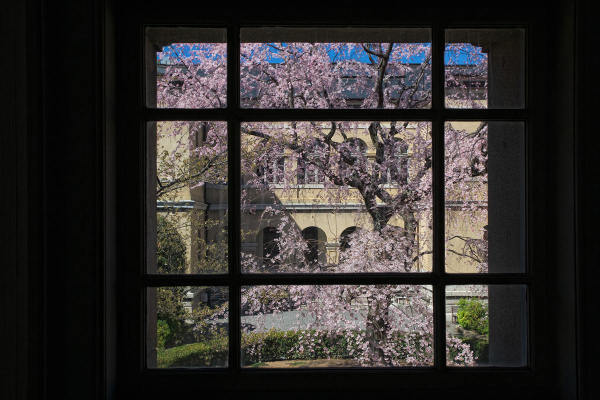 桜 2011 京都 <京都府庁>_f0021869_17362874.jpg