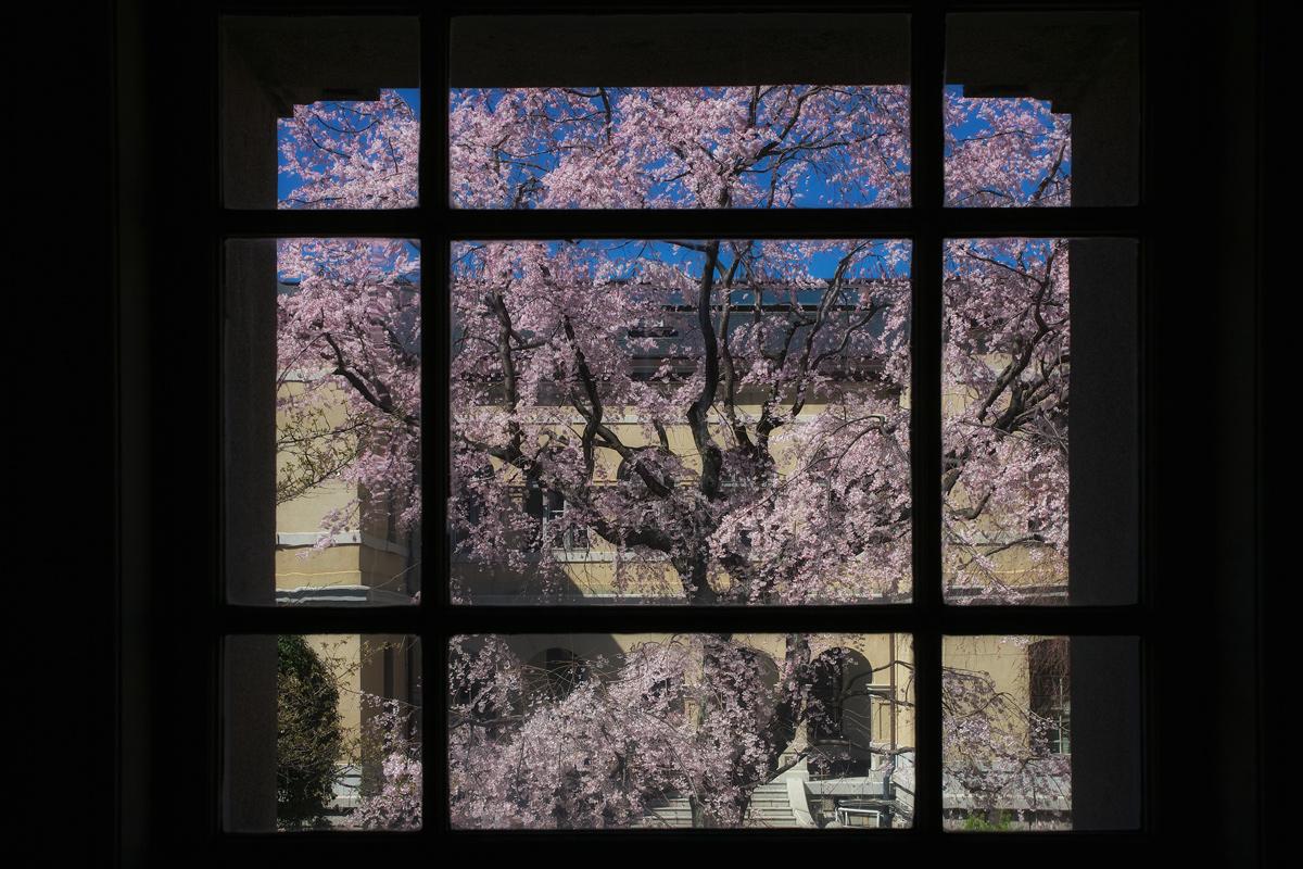 桜 2011 京都 <京都府庁>_f0021869_17365310.jpg