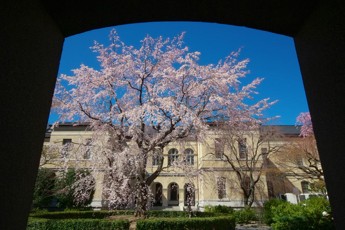 桜 2011 京都 <京都府庁>_f0021869_220165.jpg