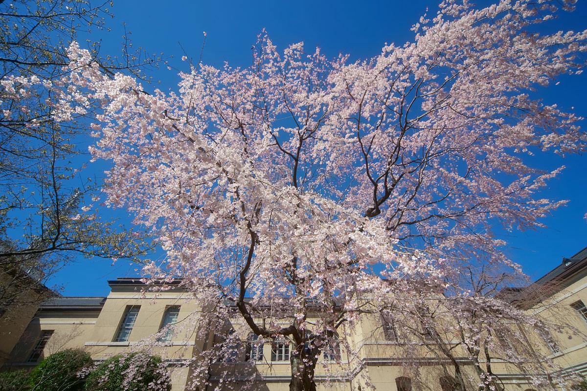 桜 2011 京都 <京都府庁>_f0021869_2261468.jpg