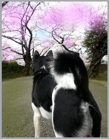 太一、桜街道を行く。静香、花より団子。_e0236072_22564659.jpg