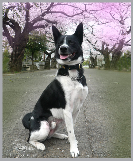 太一、桜街道を行く。静香、花より団子。_e0236072_2365882.jpg