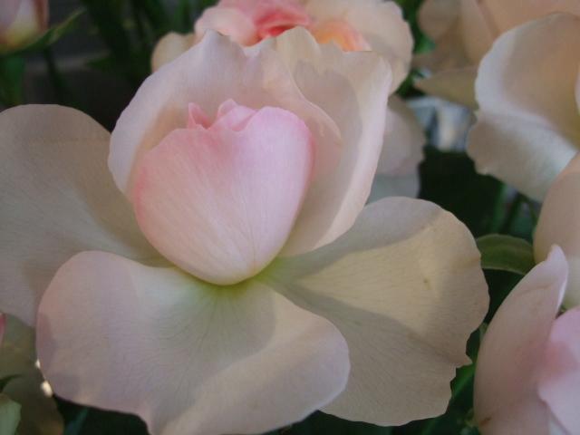 オークリーフ(桜色の花たち)_f0049672_18155917.jpg