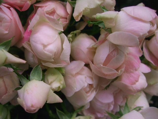 オークリーフ(桜色の花たち)_f0049672_18193715.jpg