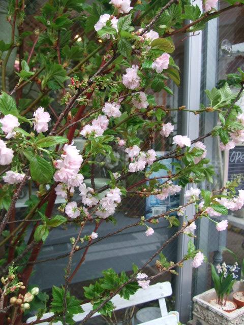 オークリーフ(桜色の花たち)_f0049672_18212767.jpg