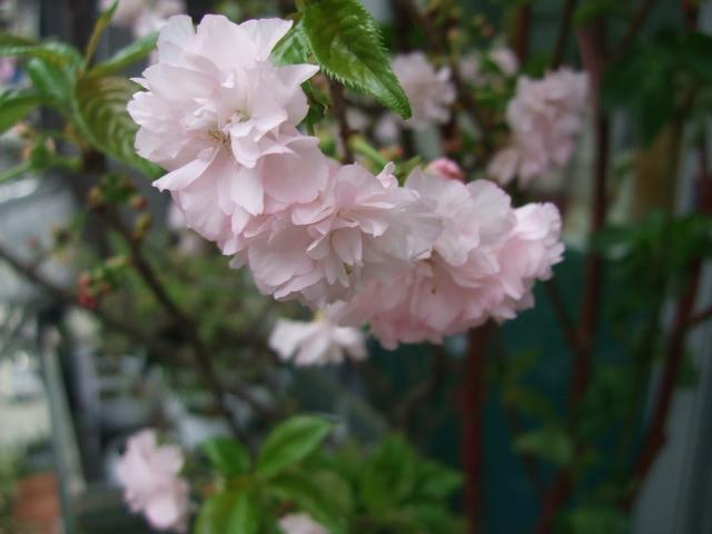 オークリーフ(桜色の花たち)_f0049672_18213632.jpg