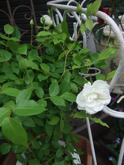 オークリーフ(桜色の花たち)_f0049672_18225340.jpg