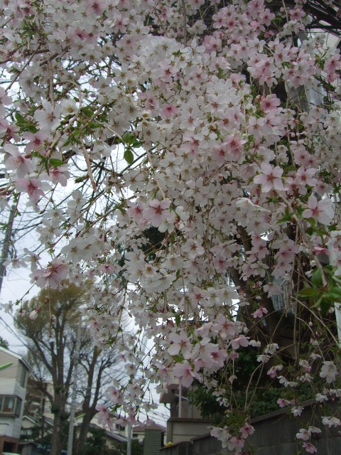 オークリーフ(桜色の花たち)_f0049672_182540100.jpg
