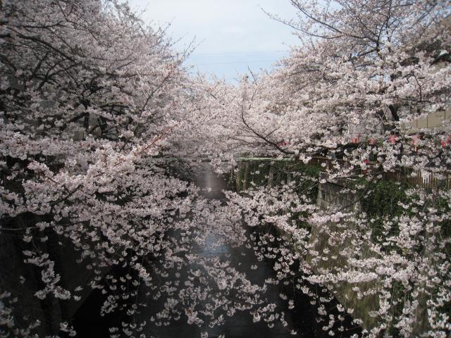 桜_d0228193_11565716.jpg
