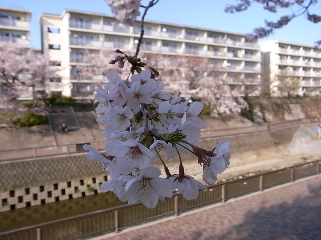 練馬・石神井川の桜_d0122797_1141675.jpg