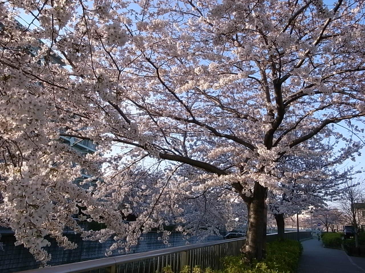練馬・石神井川の桜_d0122797_1151240.jpg