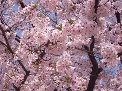 桜日和_e0130607_1414568.jpg