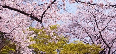 桜日和_e0130607_14151589.jpg