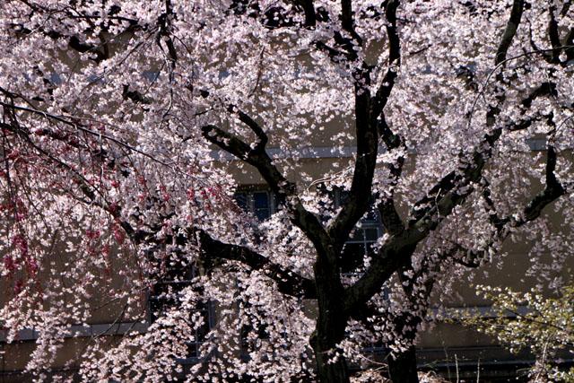 京の花だより 京都府庁_e0048413_17482342.jpg