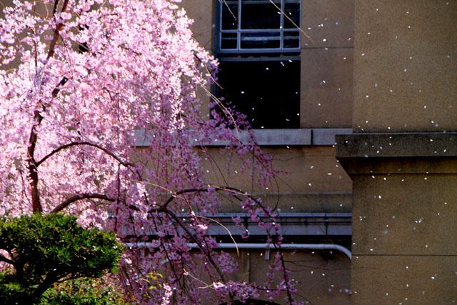 京の花だより 京都府庁_e0048413_17483296.jpg