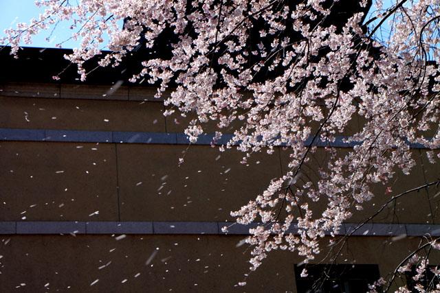 京の花だより 京都府庁_e0048413_17484245.jpg