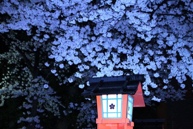 京の花だより 平野神社夜ざくら_e0048413_23102644.jpg