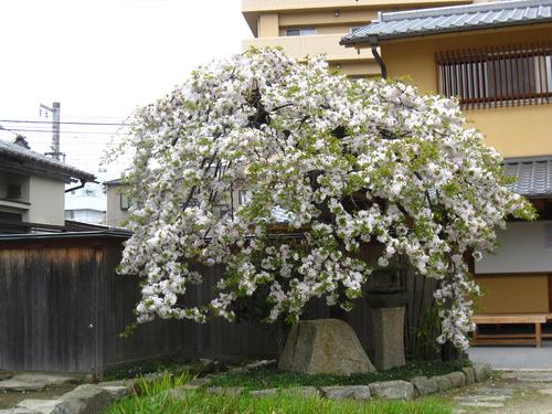 桜満開!!_b0020130_13305696.jpg