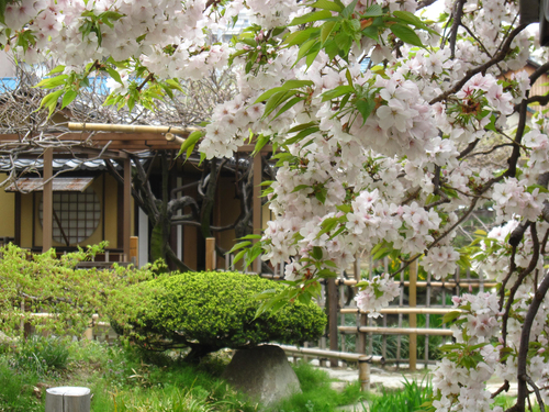 桜満開!!_b0020130_13321514.jpg