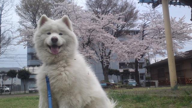 桜の木の下で_c0099133_1123195.jpg